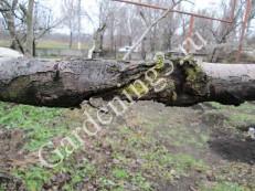 повреждение-дерева-от-рака