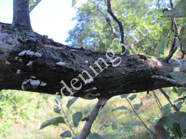рак-деревьев