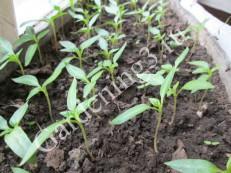 выращивание-рассады