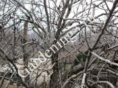 загущение кроны плодовых деревьев
