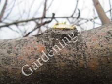 прореживание-кроны-дерева