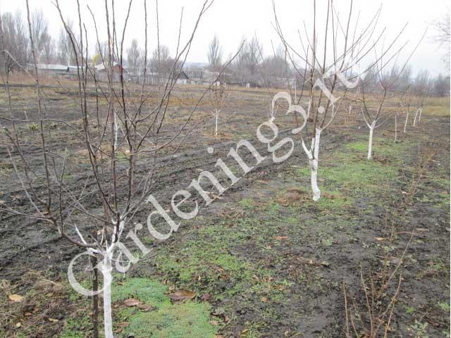 схема-посадки-плодовых-деревьев