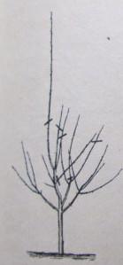 укорачивание деревьев