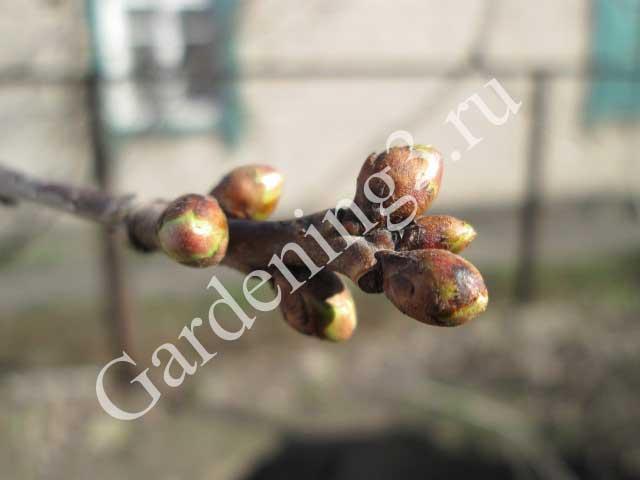обработка-деревьев-от-вредителей