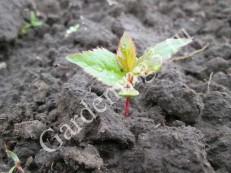 посадка-семян-после-прорастания
