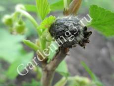 Вредитель питается пестиками и тычинками цветов, тем самым нанося вред будущему урожаю.