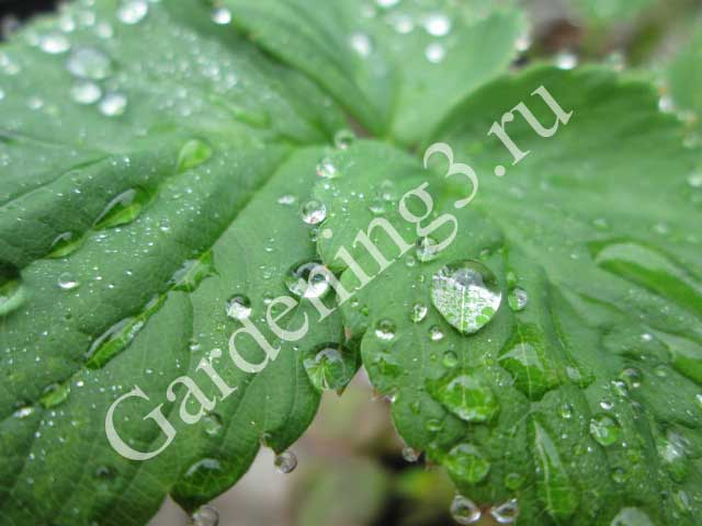 выращивание-клубники