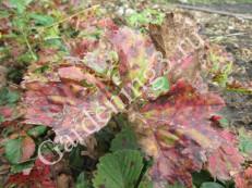 красные-пятна-на-листьях-клубники