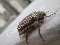 майский-жук