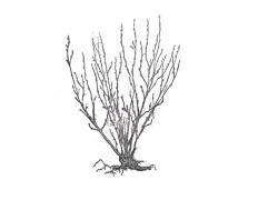 сжатая форма куста смородины