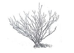 умеренная форма куста черной смородины