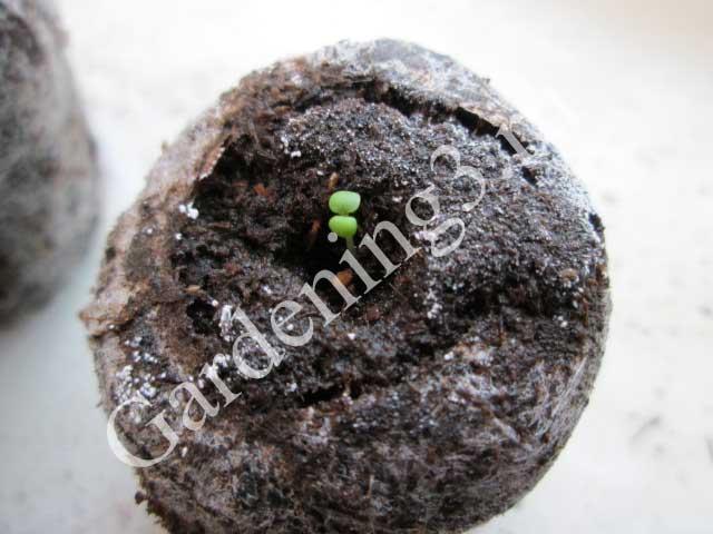 всходы-семян-клубники