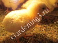 выращивание-бройлеров-дома