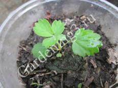 клубника-выращенная-из-семян