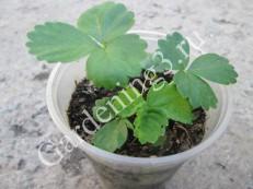 клубника-из-семян