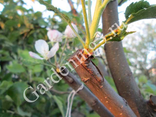 окулировка-плодовых-деревьев-почкой