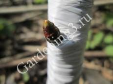 размножение-плодовых-деревьев