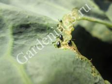 вредитель-белокочанной-капусты