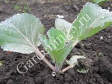 посадка-рассады-капусты