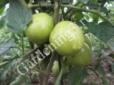 посадка-томатов