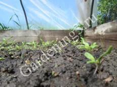посев-семян-томатов