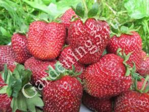 польза от ягод клубники