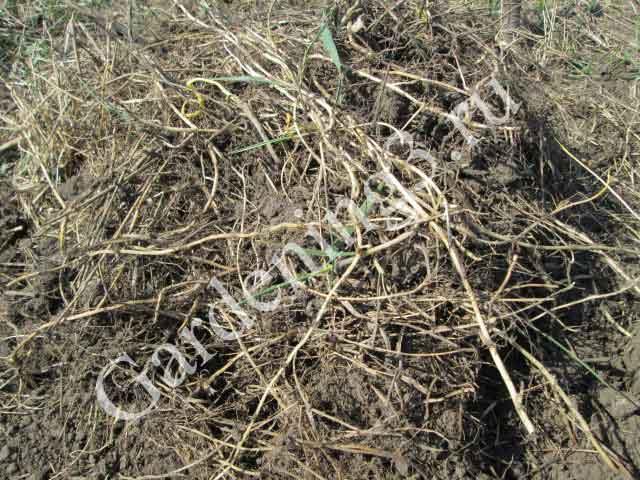 корни-пырея-ползучего
