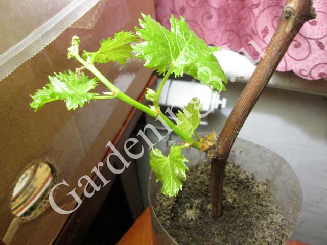 виноград-размножение