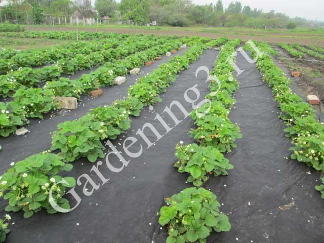 выращивание-клубники-на-агроволокне