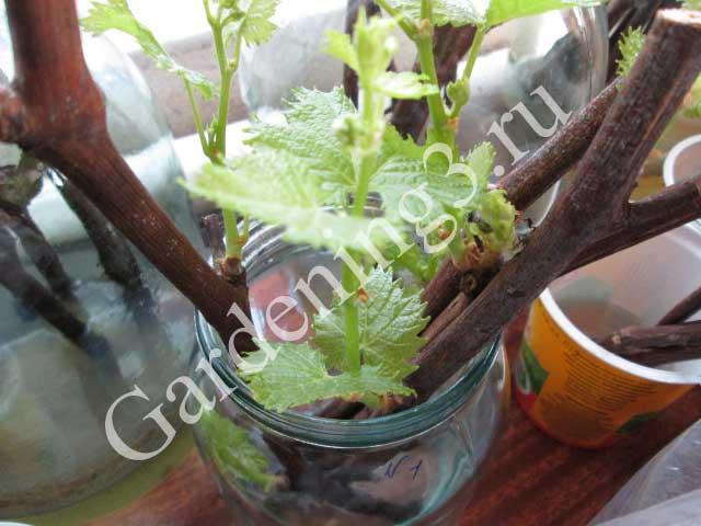 размноженеи-винограда
