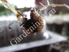 размножение-винограда-в-домашних-условиях