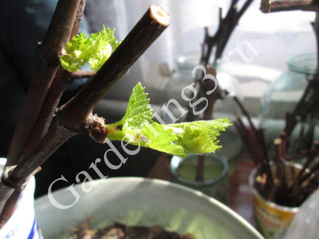 размножение-винограда-дома