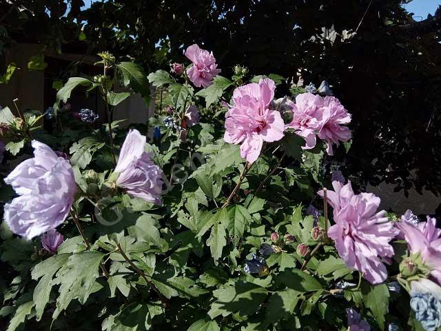 подкормки гибискуса для обильного цветения