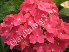 gortensia