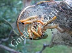 гусеницы-на-груше