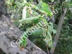 повреждение-листьев-яблони-гусеницей-листоветкой