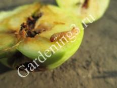 повреждение-яблони-листоверткой