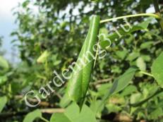 скручивание-листьев-листоверткой