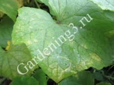 пожелтение-листьев-у-огурцов
