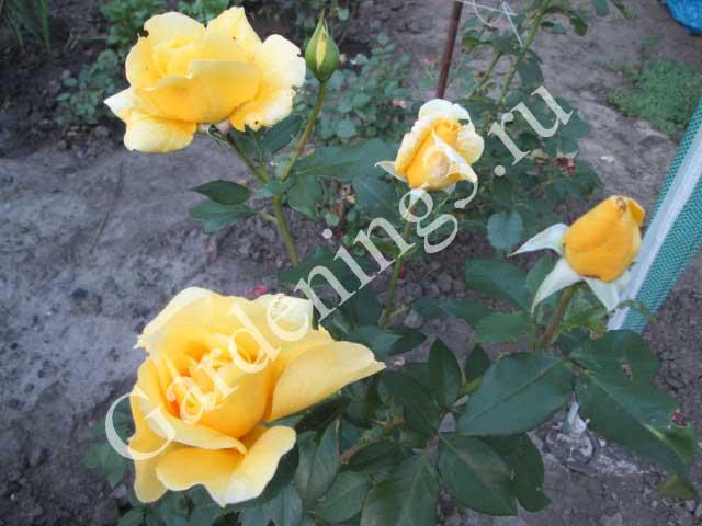 желтая-роза-после-обрезки