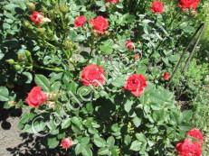 обрезка-роз-весной