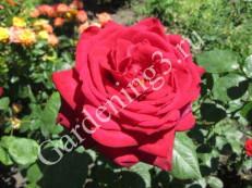 размножение-роз