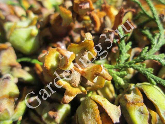 размножение-туи-семенами
