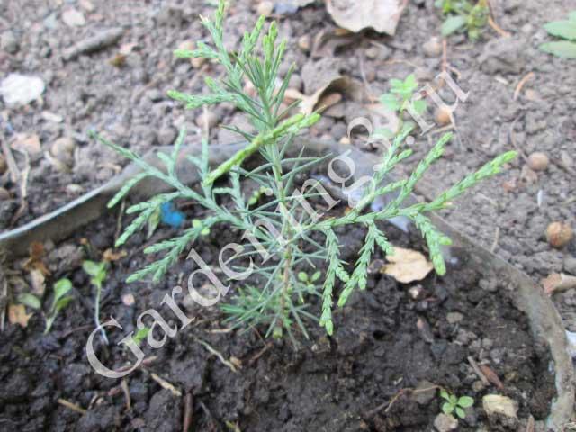 размножение туи семенами весной
