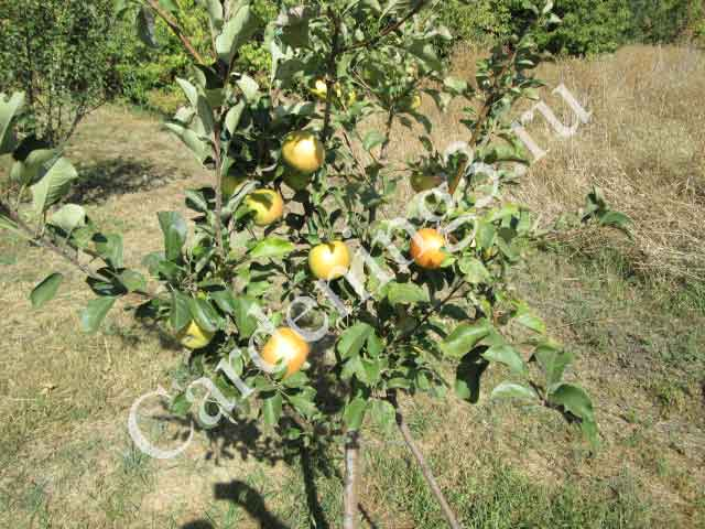 саженцы-плодовых-деревьев