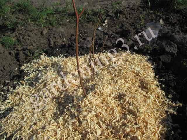 Мульчирование почвы положительно влияет на рост и плодоношение голубики
