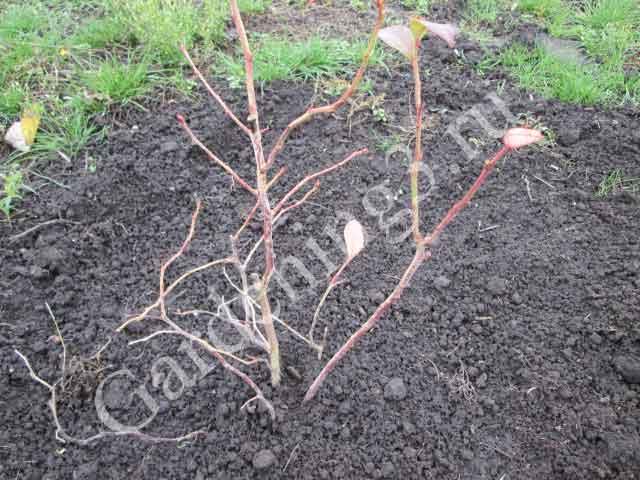посадка голубики в кислую почву