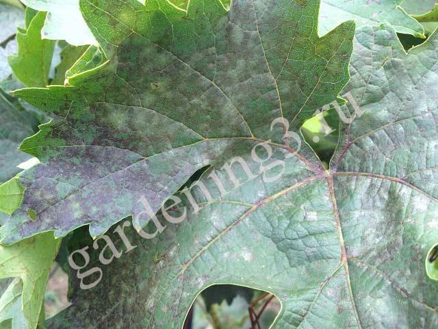 Альтернариоз - в результате болезни листья покрываются сплошным оливковым пятном