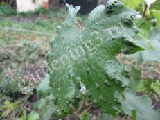 виноградный клещ, на внешней стороне листьев появляются вздутия