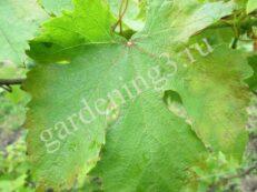 Милдью-характерные признаки данного грибкового заболевания винограда являются маслинные желтоватые пятна
